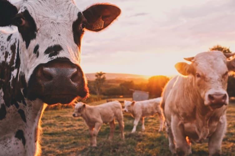 ¿De dónde viene la carne roja?