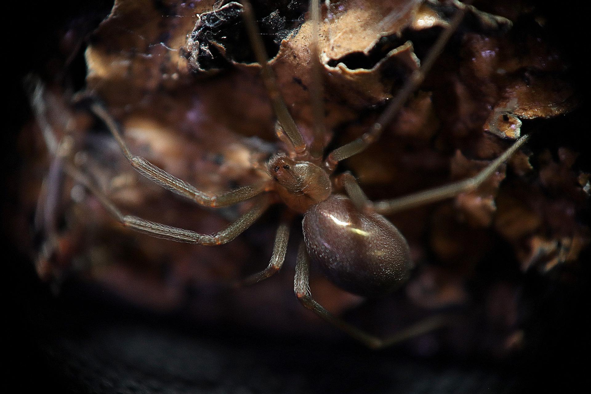 picadura de araña, araña de los rincones