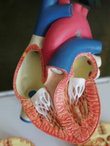 Modelo del corazón donde aparecen el ventrículo derecho e izquierdo