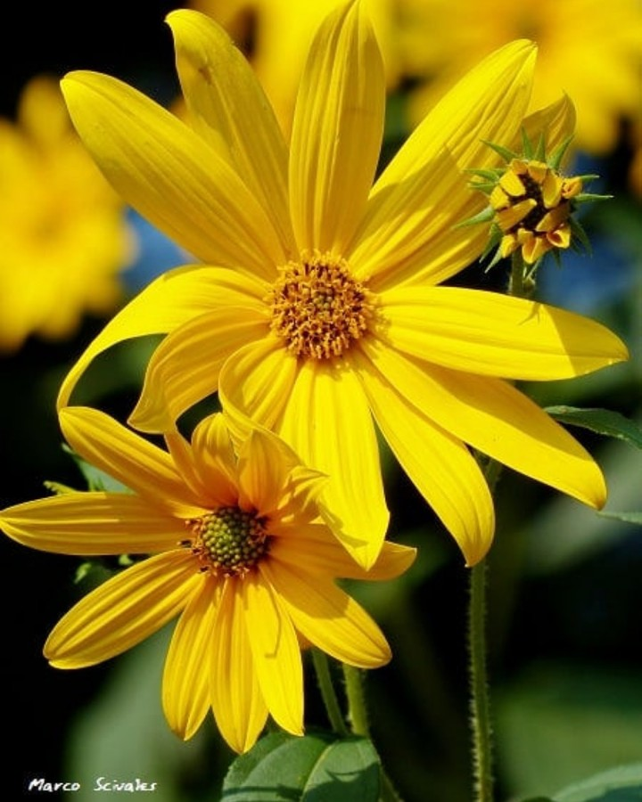 Flores de tupinambo
